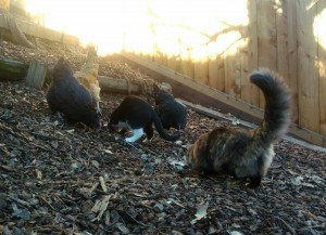 Cats and chickens living in harmony.